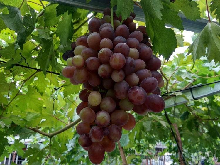 Kampung Wisata Anggur Plumbungan, Sumber : gudeg.net
